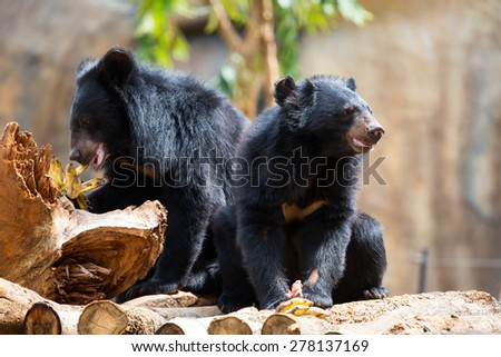 Asiatic Black Bear - stock photo