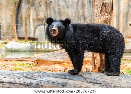 Asiatic Black Bear. - stock photo