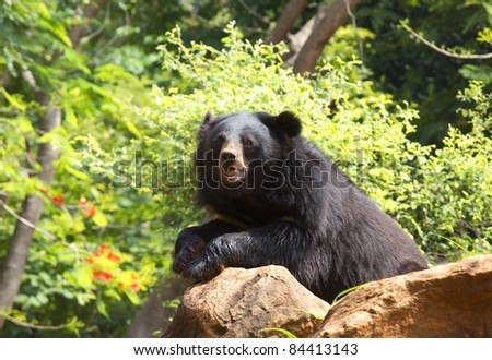 Asiatic black bear. - stock photo