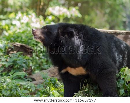 asiatic black bear in wildlife - stock photo