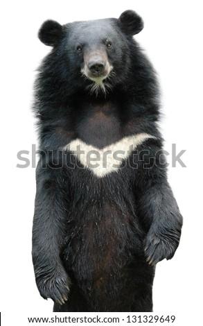 asiatic black bear isolated on white background - stock photo