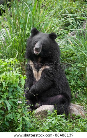 asiatic black bear (selenarctos thibetanus)
