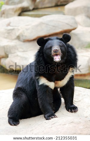 Asiatic black bears are the largest bears in Asia. - stock photo