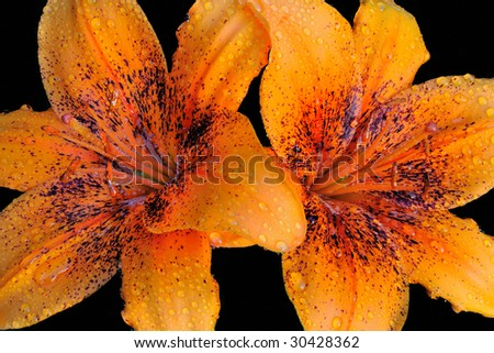 Asiatic Lily (Lilium ) - Liliaceae on black background - stock photo