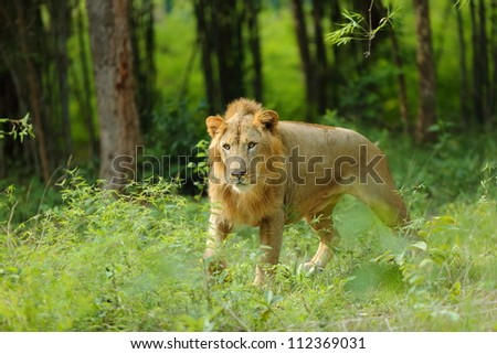 Asiatic Lion - stock photo