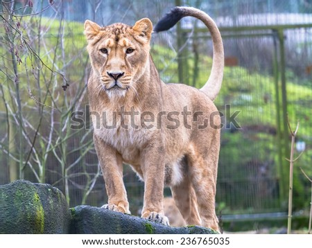 Asiatic lioness standing on the rock looking straight forward - stock photo