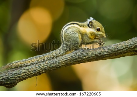 Asiatic striped squirrel, Striped squirrel ( Tamiops) in forest of Thailand - stock photo