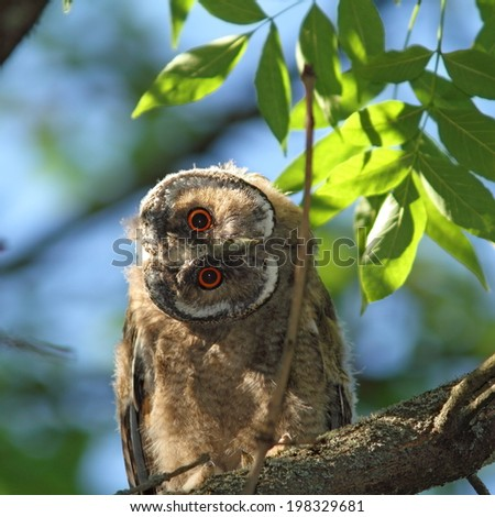 asio otus juvenile ( long-eared owl ) hiding in the shade of a  tree, very curious about camera - stock photo