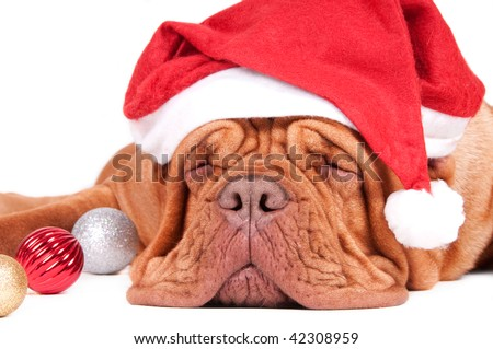 Asleep dogue de bordeaux waiting for Christmas with Christmas decorations