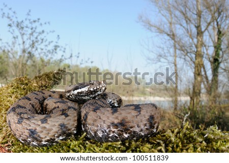 Asp viper in its plain wood habitat near a river - stock photo