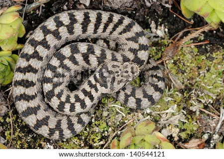 asp viper pattern (Vipera aspis atra, male) - stock photo