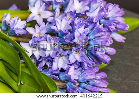Asparagaceae family blooming hyacinths in April Blue flowers with many small blossoms and green leaves shot with selective focus, image for interior concept, spring decoration, creative blog business - stock photo