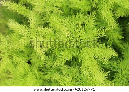 Asparagus fern (Asparagus densiflorus cv. 'Myers' ), fresh green fine leaves selective focus for background.  - stock photo
