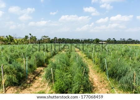 Asparagus field on ground in vegetable garden. - stock photo