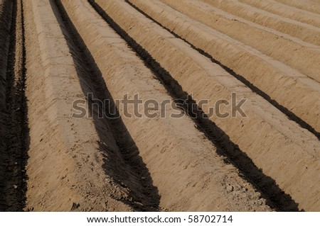 Asparagus field with a lot of rows of hills in springtime - stock photo