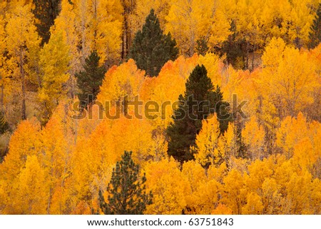 Aspen and Firs - stock photo