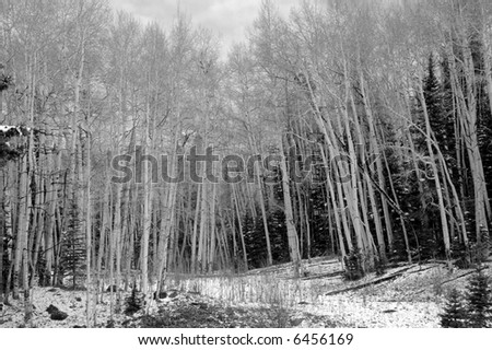 Aspen Forest in Monochrome with Snow - stock photo