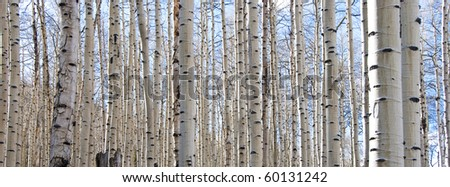 Aspen forest in the Rocky Mountains in Colorado in early spring when the leaves still haven't come out yet. - stock photo