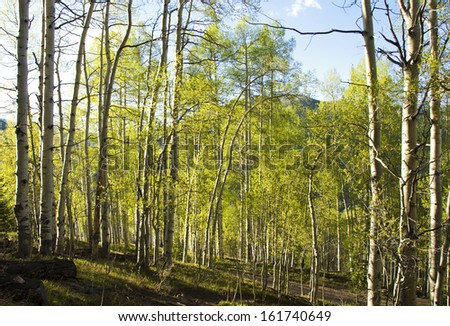 Aspen forest lit with late afternoon sunlight with long shadows, in the Colorado Rocky Mountains - stock photo