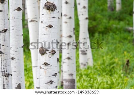 Aspen forest near Crested Butte, Colorado. - stock photo