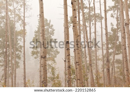 aspen forest trees  in colorado - stock photo