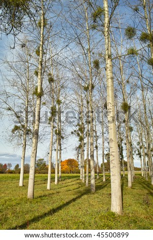 aspen forest with Common Medlar in fall with Populus canadensis and Mespilus - stock photo