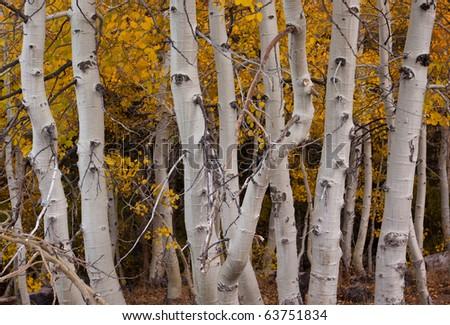 Aspen Grove - stock photo