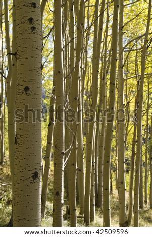 Aspen Grove in Colorado - stock photo