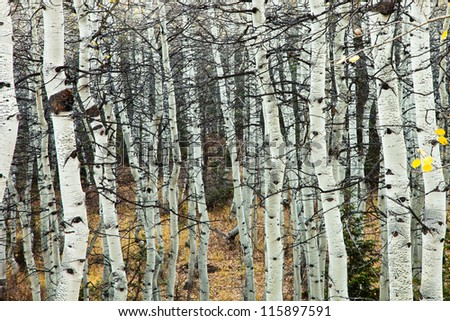 Aspen Grove with no Leaves - stock photo