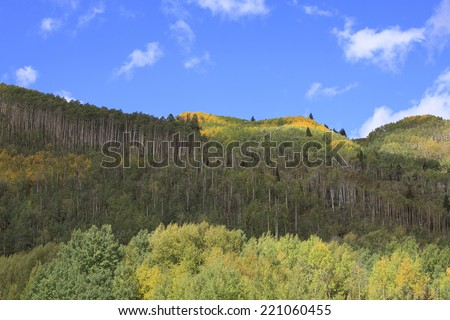 Aspen Grove with Pine Trees and Blue Sky - stock photo