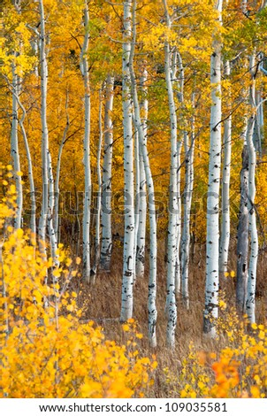 Aspen in Fall, Grand Tetons National Park, Wyoming, USA - stock photo
