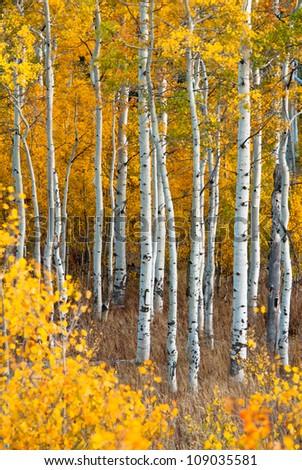 Aspen in Fall, Grand Tetons National Park, Wyoming, USA - stock photo