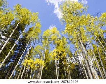 Aspen in the Rockies - Colorado - stock photo