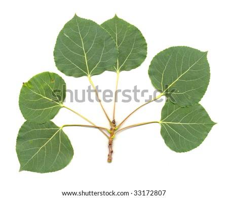 Aspen Leaves isolated - stock photo