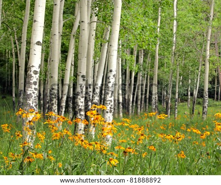 Aspen Meadow and Wildflowers in New Mexico - stock photo