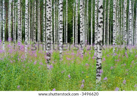 Aspen tree background - stock photo