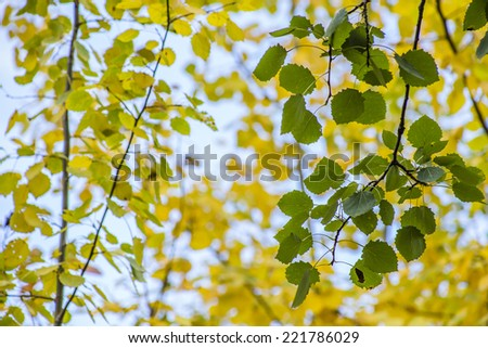 Aspen tree branch with green leaves on a background of yellow leaves in the forest