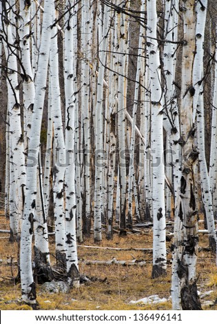 Aspen tree forest in the winter - stock photo