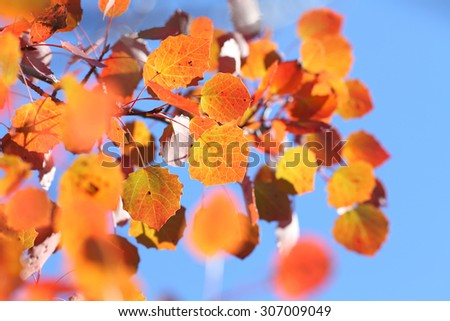 aspen tree in fall in front of blue sky - stock photo