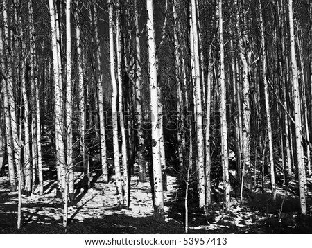 Aspen Tree Trunks in Black and White