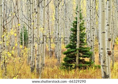Aspen trees and fir tree - stock photo