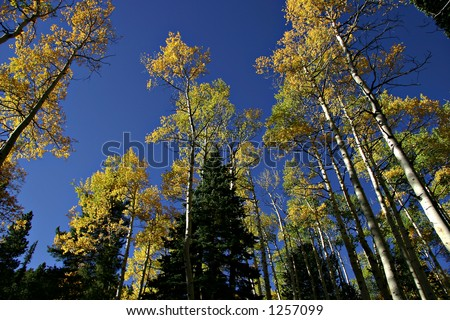 Aspen trees and pine trees in the fall, Rocky Mountain National Park, Colorado, USA - stock photo