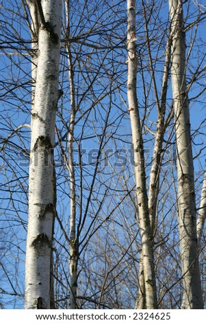 aspen trees background in the winter against a blue sky - stock photo