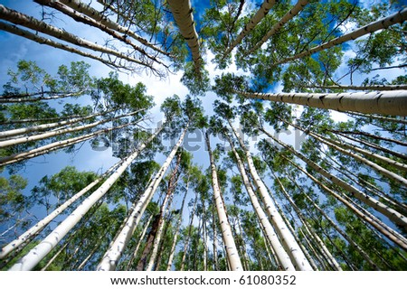 Aspen trees from below - stock photo