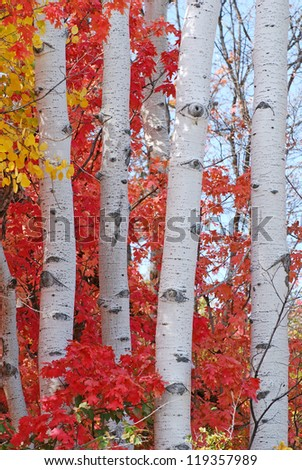 Aspen trees in autumn. - stock photo
