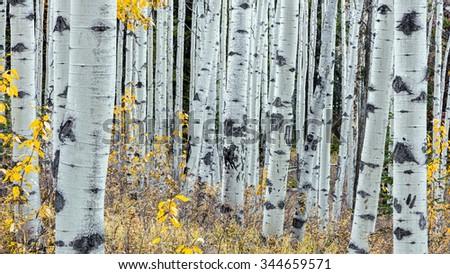 Aspen trees in Autumn  - stock photo
