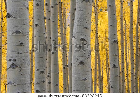 Aspen trees in Autumn, Maroon Bells Wilderness, Aspen Colorado - stock photo