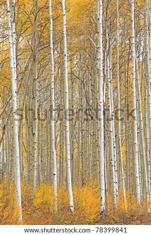 Aspen trees in Colorado - stock photo