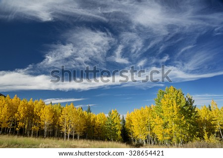 aspen trees in the fall with yellow leaves and a partly cloudy blue sky above it - stock photo