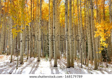 Aspen trees in the snow in early winter time - stock photo